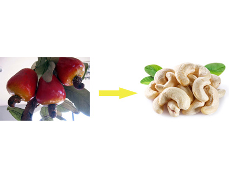 Poisonous cashew nut shell and skin